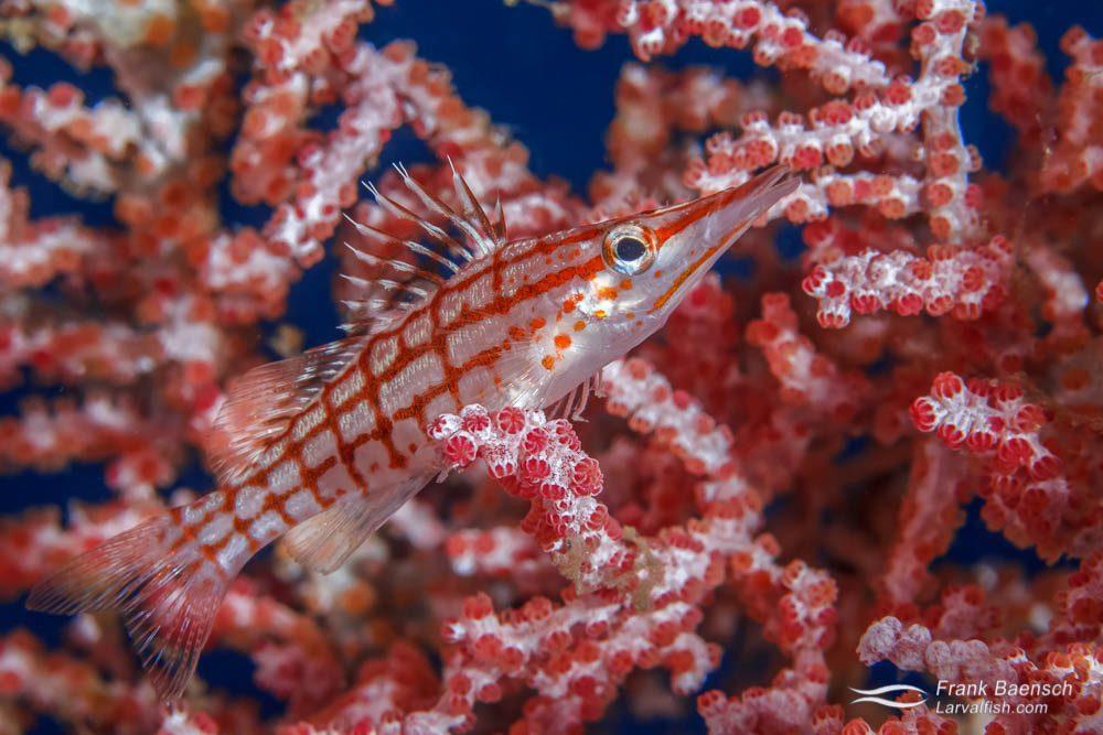 Longnose hawkfish (Oxycirrhites typus). Indonesia.