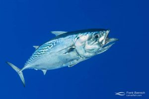 Mackerel tuna (Euthynnus affinis) also known as Kawakawa in Hawaii. Hawaii.