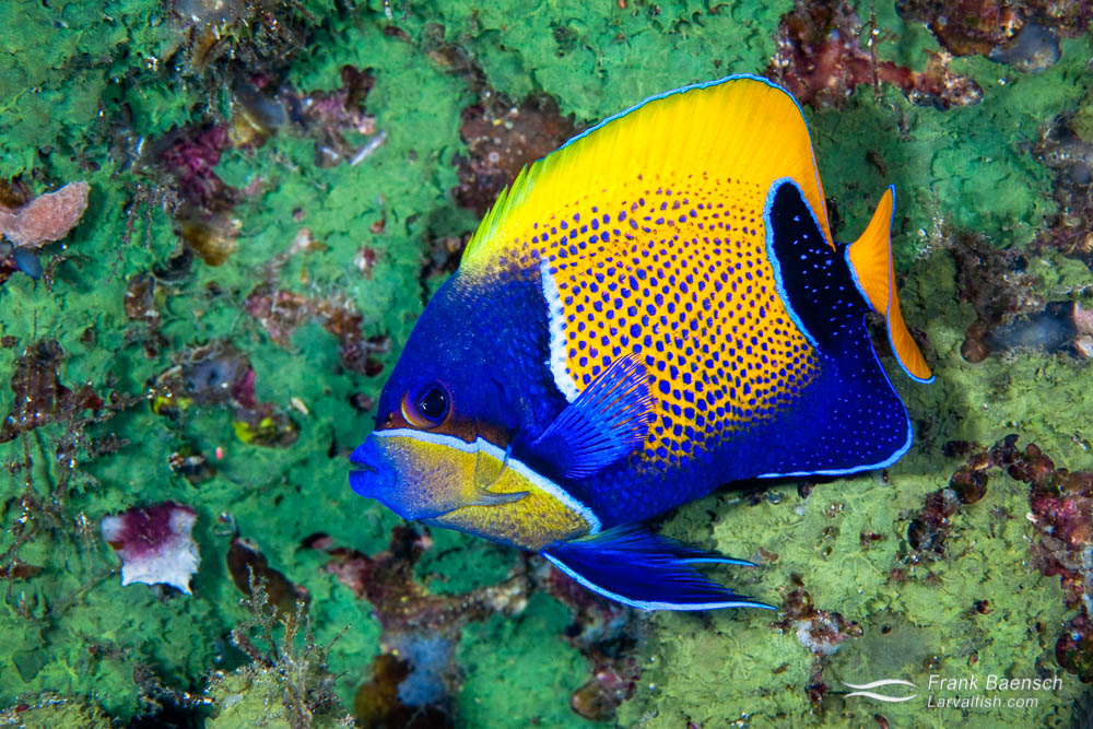 A majestic angelfish (Pomacanthus navarchus) in front of  a green sponge. Indonesia.