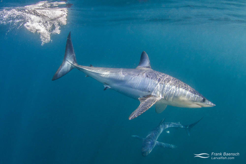 A shortfin mako (Isurus oxyrinchus) in waters off New England.