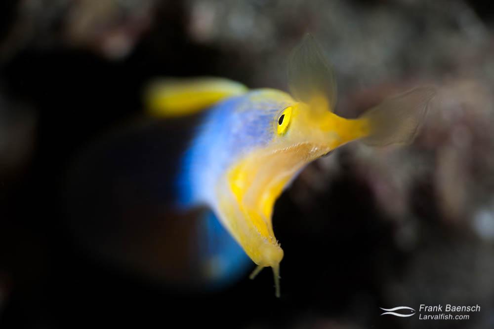 Head on shot of  a male ribbon eel (Rhinomuraena quaesita). Indonesia
