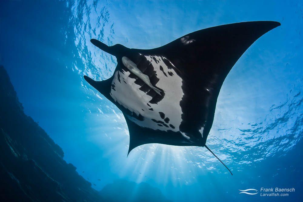 A Pacific manta ray (Manta birostris) blocks the sun off Socorro island.