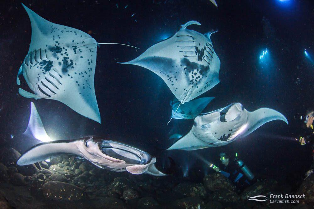 Five mantas feeding on plankton at the manta ray night dive in Kona, Hawaii.