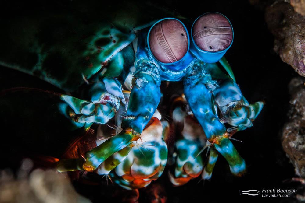 A mantis shrimp (Odontodactylus scyllarus) peers out of its den. Indonesia.
