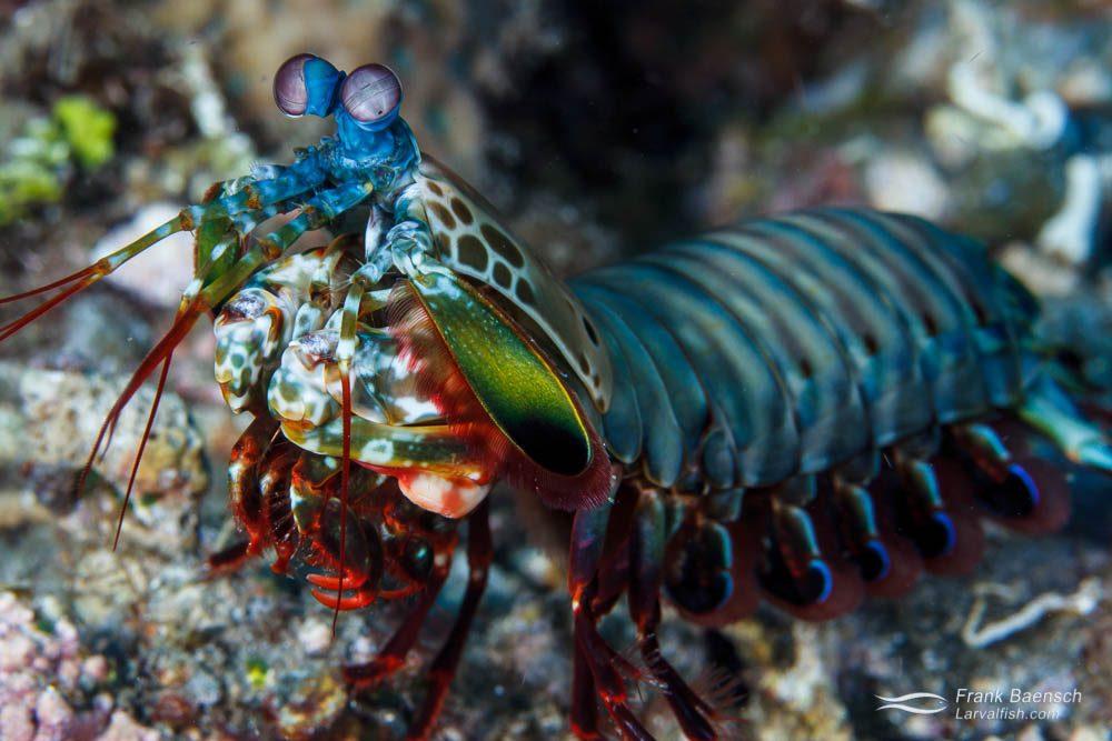 Peacock mantis shrimp (Hemisquilla ensiger). Papua New Guinea.