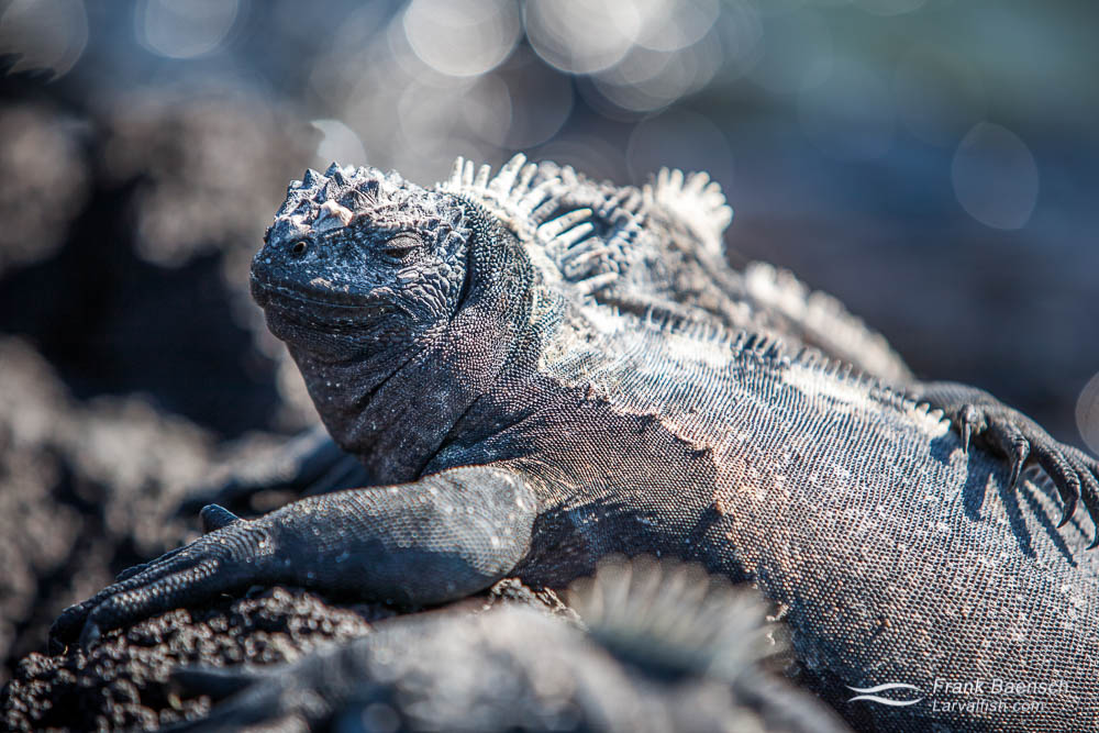 Close up of a marine iguana basking in the sun
