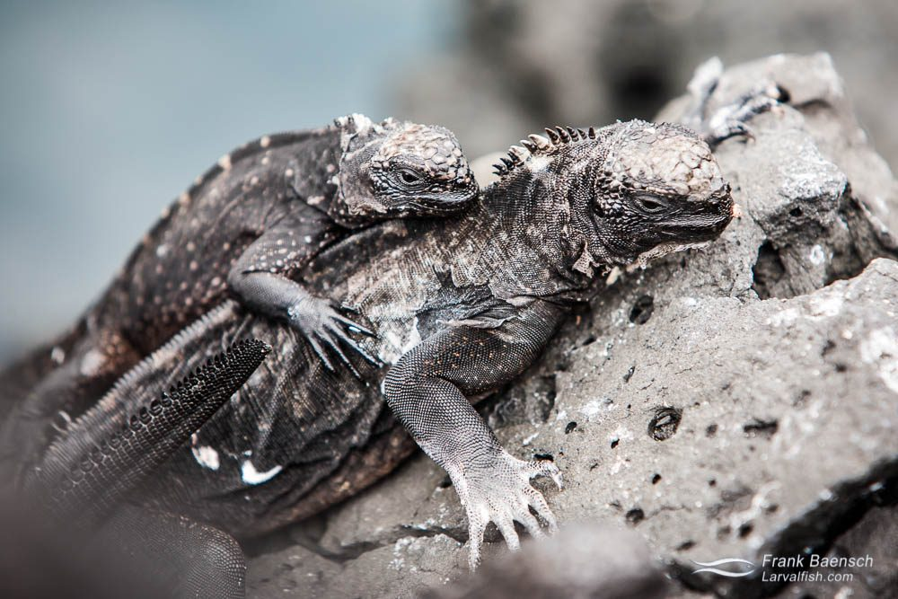 Two marine iguanas on top of each other
