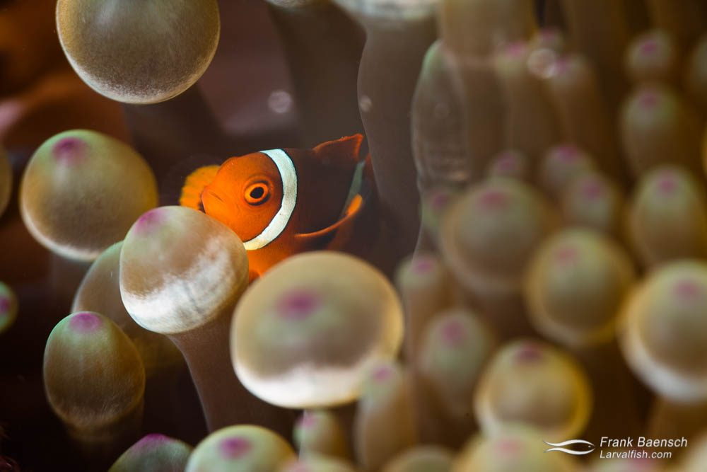 A juvenile maroon clownfish (Premnas biaculeatus) peeks out from behind the tenticles of a blubble-tip anemone. Indonesia.