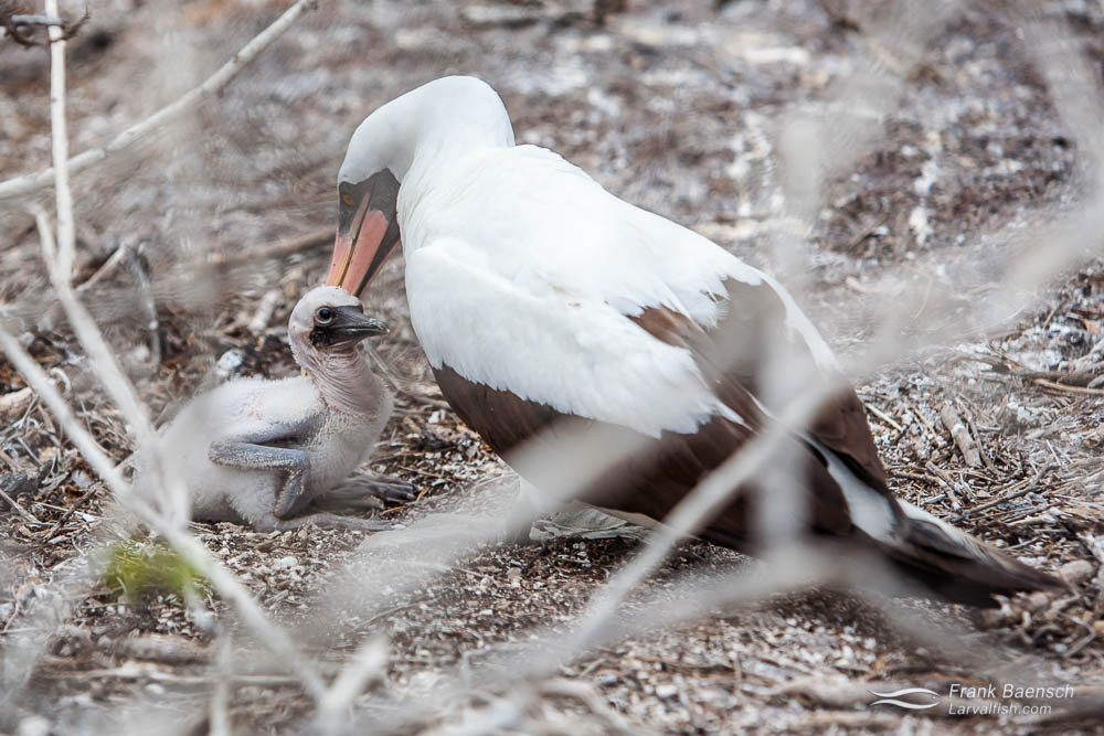 Masked Booby (Sula Dactylatra) with chick. Galapagos Islands.