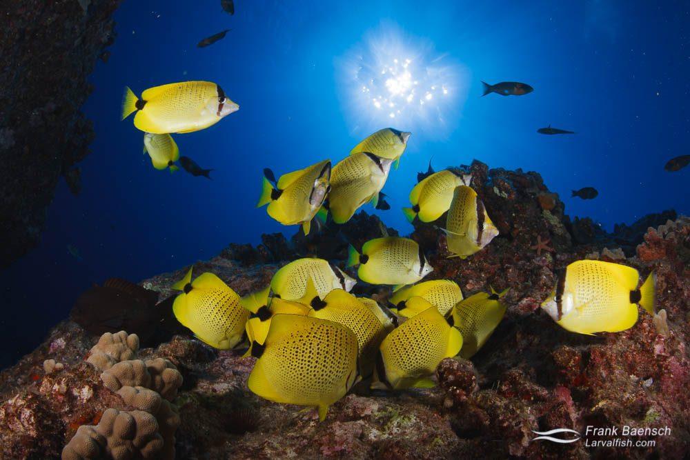 A school of milletseed butterflyfish (Chaetodon miliaris) feast on sergeant major eggs. Hawaii.