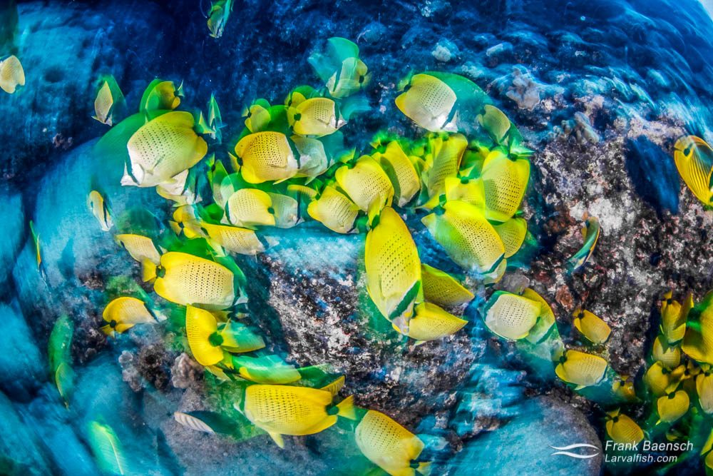 A horde of milletseed butterflyfish (Chaetodon miliaris) feasting on demersal fish eggs. Hawaii.