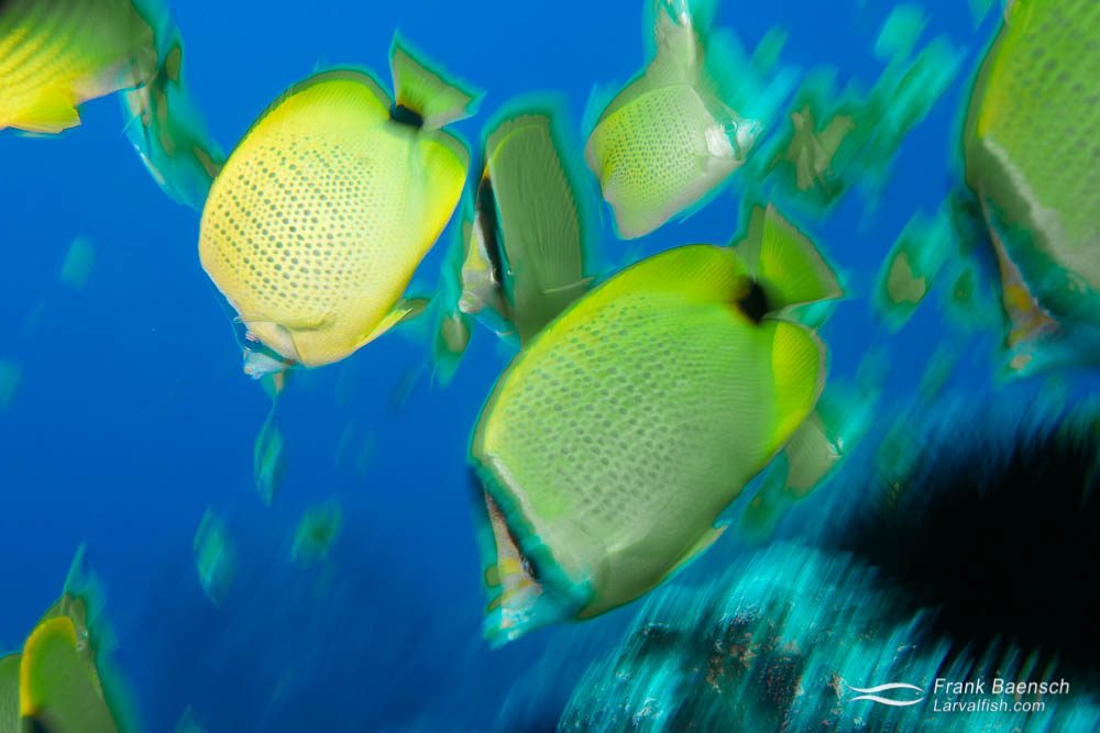 Milletseed butterflyfishes (Chaetodon miliaris) motion blur. Hawaii.