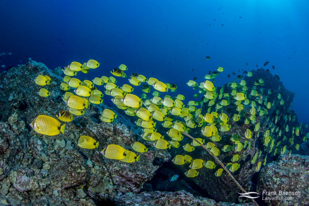 A massive school of milletseed butterflyfish (Chaetodon miliaris) on a reef off Oahu, Hawaii.