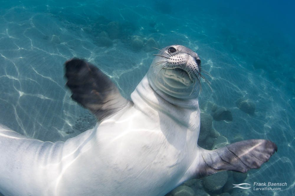 Hawaiian monk seal (Monachus schauinslandi) getting playful. Hawaii.
