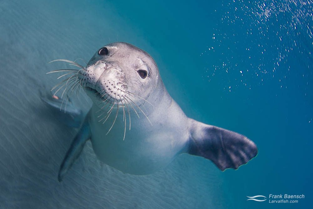Head on shot of playful Hawaiian monk seal (Monachus schauinslandi). Hawaii.