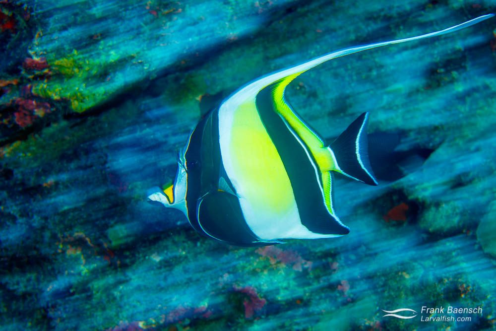 Moorish idol (Zanclus canescens) races along a reef off Haunuma Bay. Hawaii.
