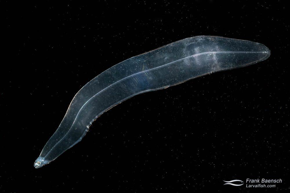 Moray eel leptocephalus larva (Muraenidae). Papua New Guinea.