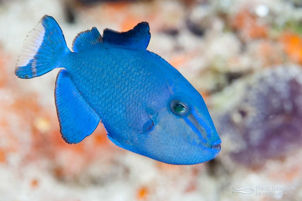 A juvenile redtoothed triggerfish or Niger triggerfish (Odonus niger). A niger trigger pair produces a gelatinous cluster of millions of eggs  during the spawning season. Maybe one or two survive the 50 day old larval period in the open ocean to become a juvenile. Indonesia.