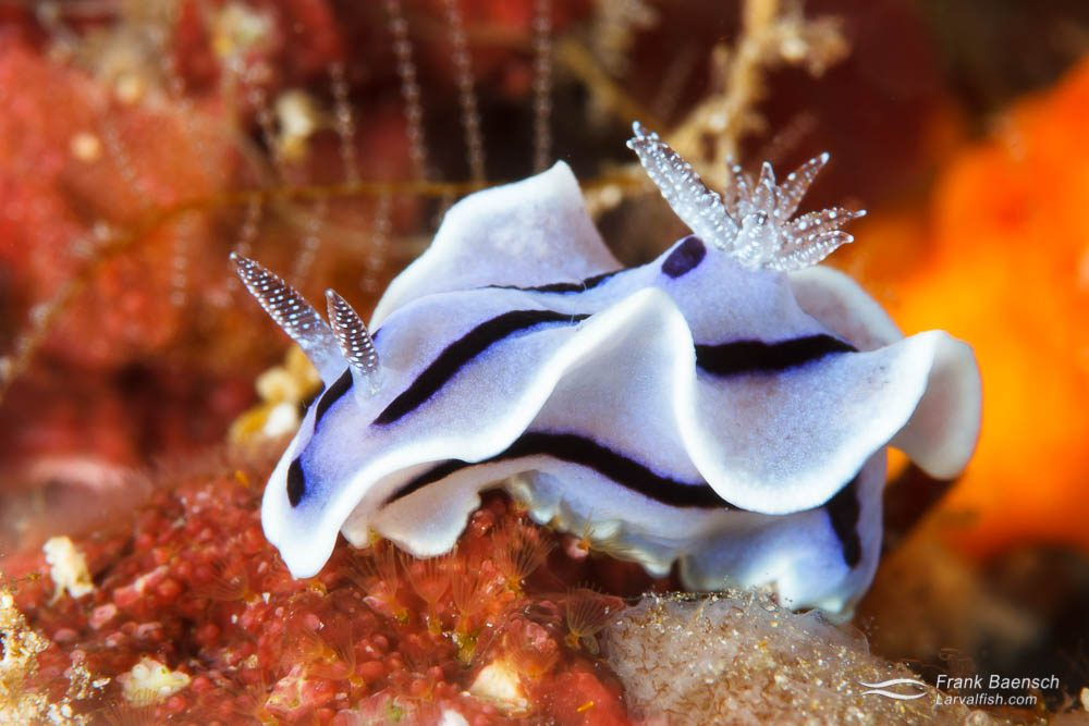 Nudibranch (Chromodoris willani). Indonesia.