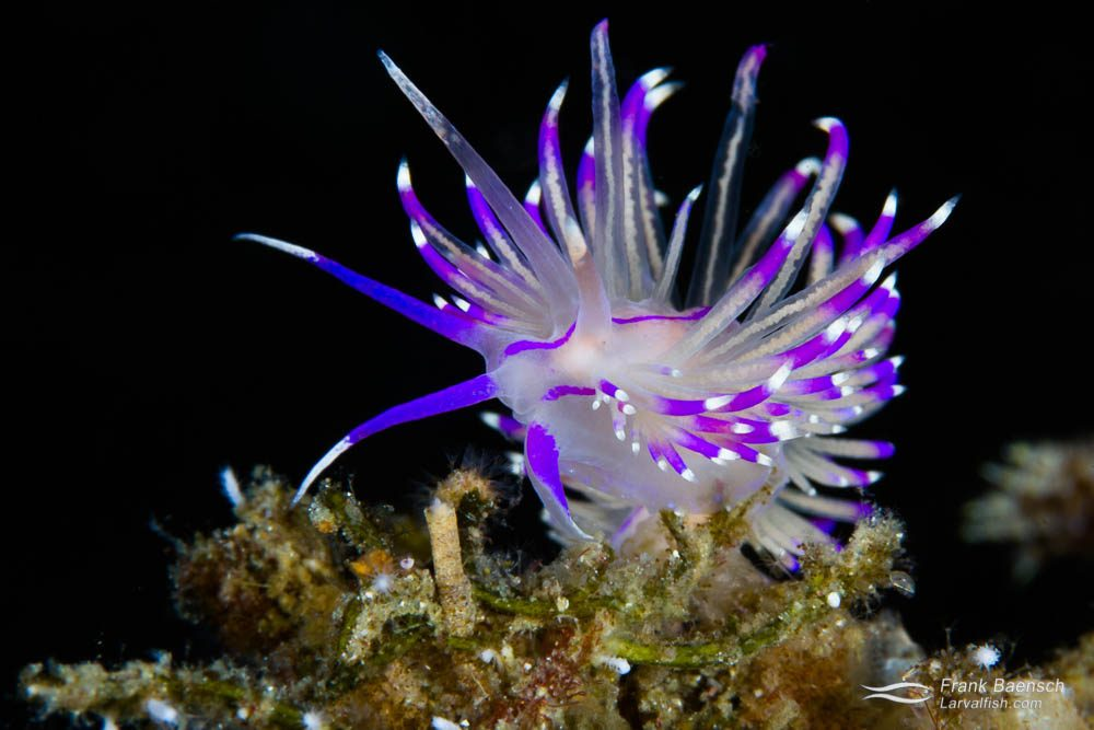 Flabellina nudibranch. Indonesia.