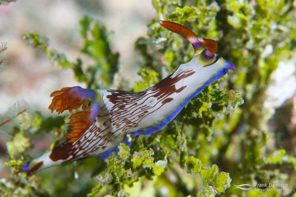 Nudibranch (Nembrotha purpureolineata). Papua New Guinea.