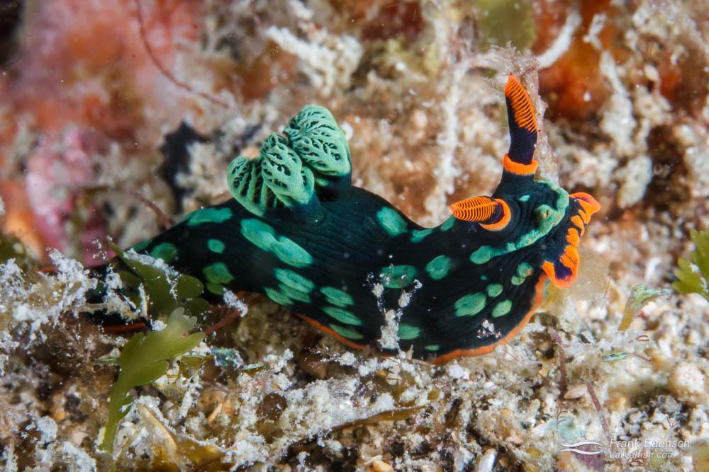 Nudibranch (Nembrotha kubaryana). Papua New Guinea.
