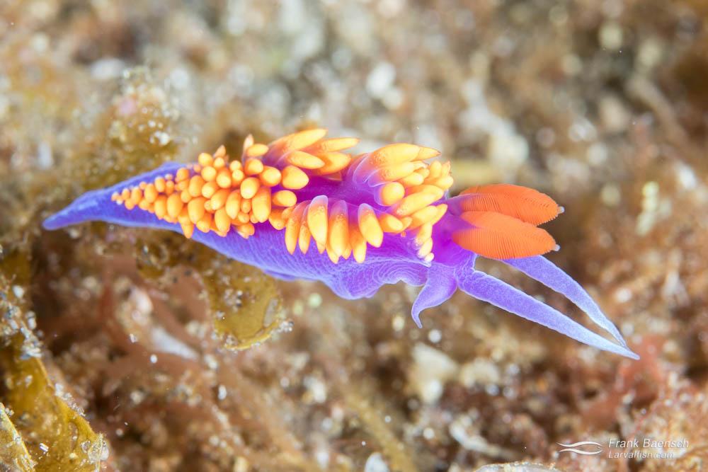 Flabellina iodinea nudibranch. California.