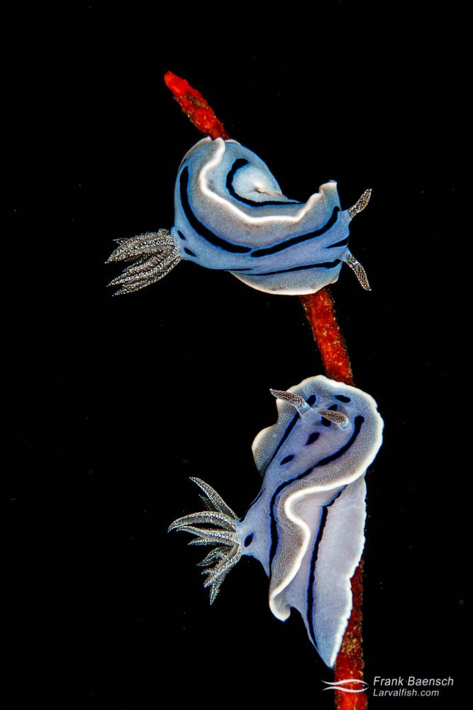 Nudibranchs (Chromodoris willani) at night. Philippines.