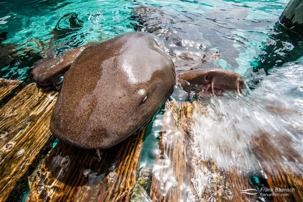Nurse sharks (Ginglymostoma cirratum) squirts water while swimming onto dock for food. Bahamas.