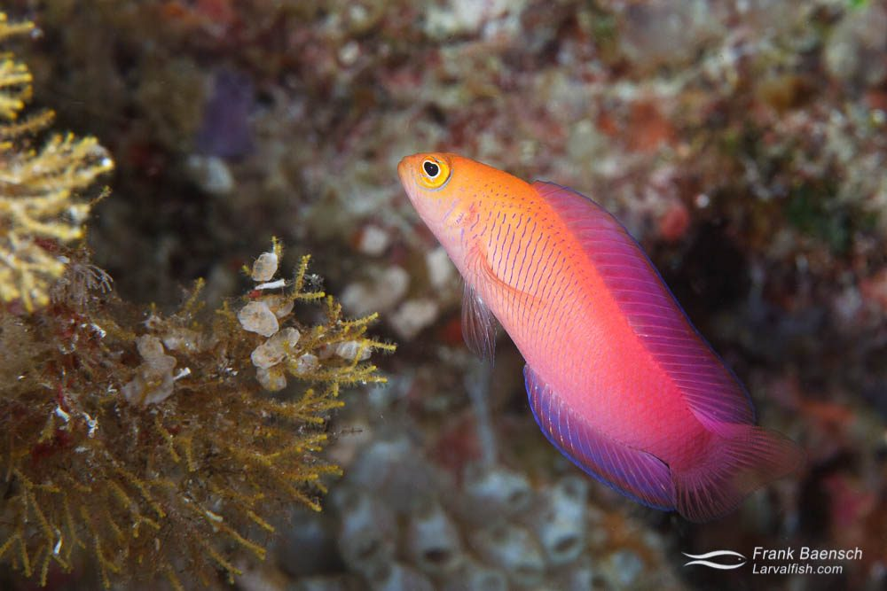 Oblique-lined dottyback (Cypho purpurascens) in PNG.