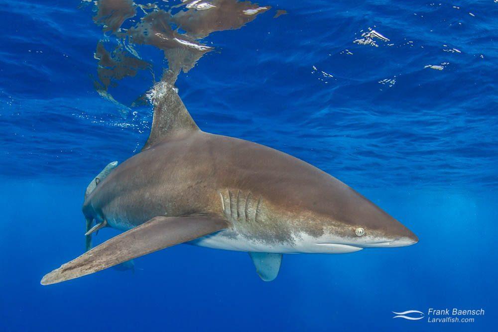 An oceanic whitetip shark (Carcharhinus longimanus) up close. Bahamas.