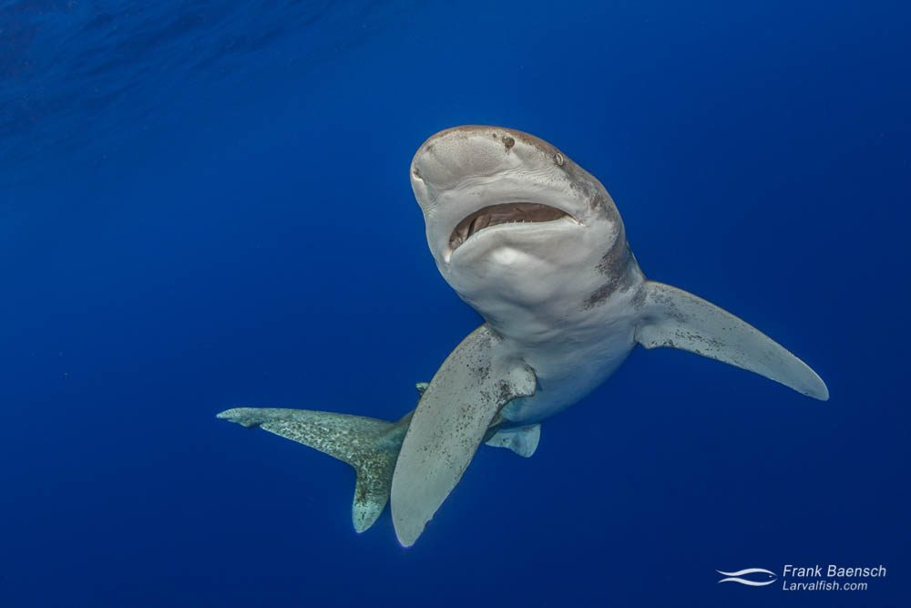 An oceanic whitetip shark (Carcharhinus longimanus) circling towards the surface. Bahamas.