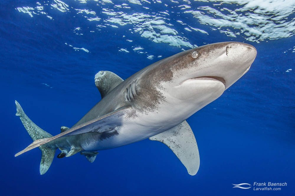 An oceanic whitetip shark (Carcharhinus longimanus) in blue open water. Bahamas.