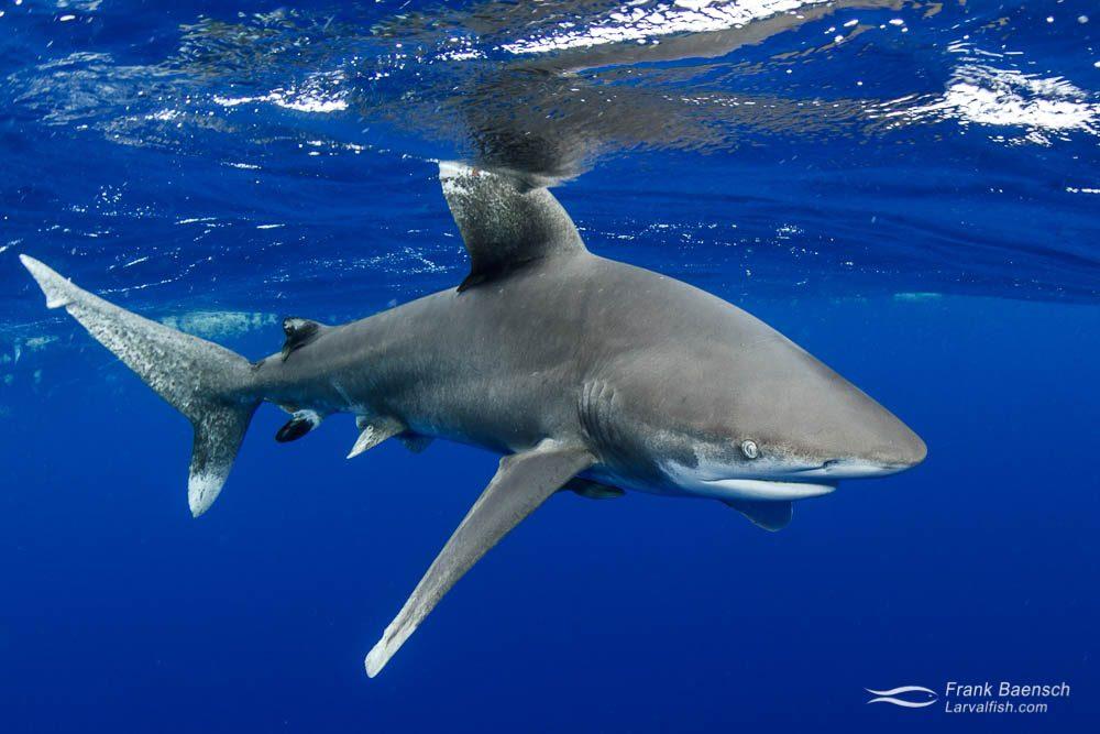 An oceanic whitetip shark (Carcharhinus longimanus) breaks the surface. Bahamas.