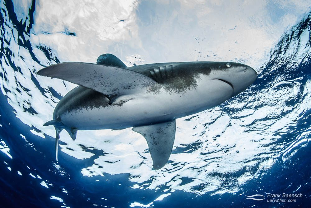 An oceanic whitetip shark (Carcharhinus longimanus) on the surface from below. Bahamas.