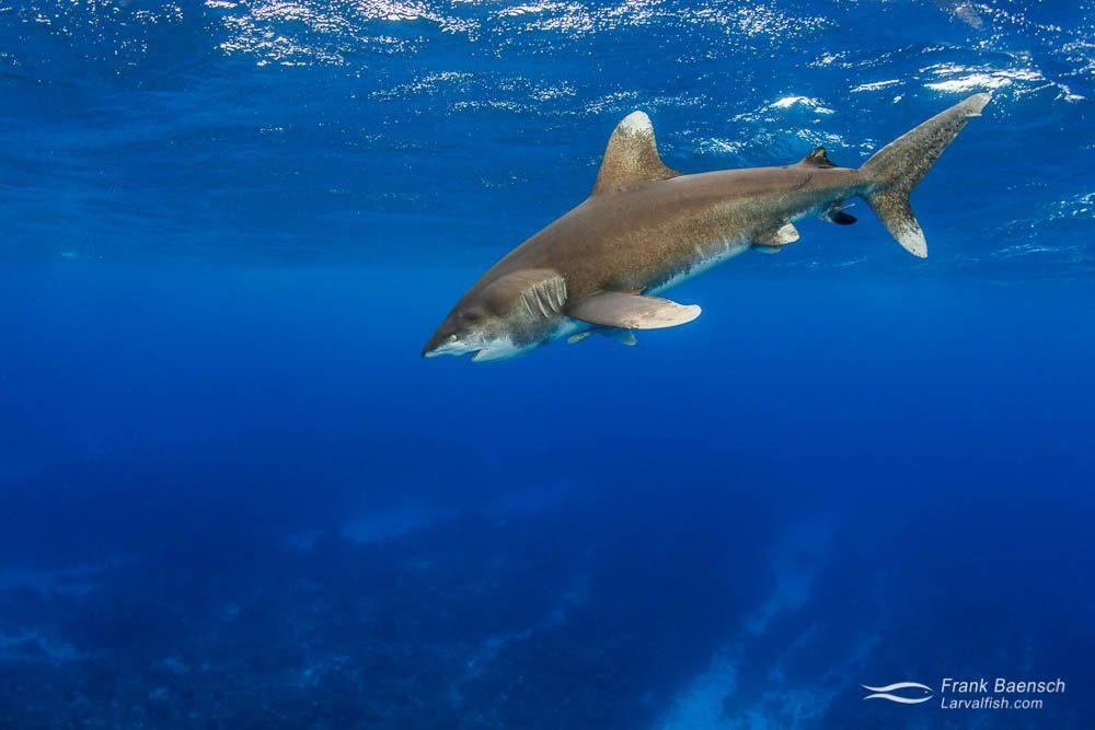 The rare sight of a pelagic oceanic whitetip shark (Carcharhinus longimanus) over shallow reef. Bahamas.