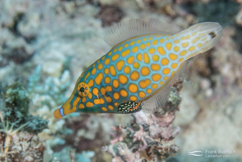 Orangespotted filefish (Cantherhines pullus) in Fiji.