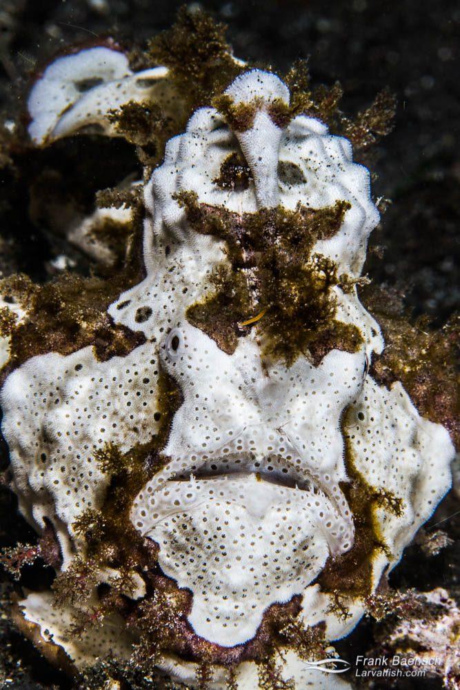 Painted frogfish (Antennarius pictus). Indonesia.