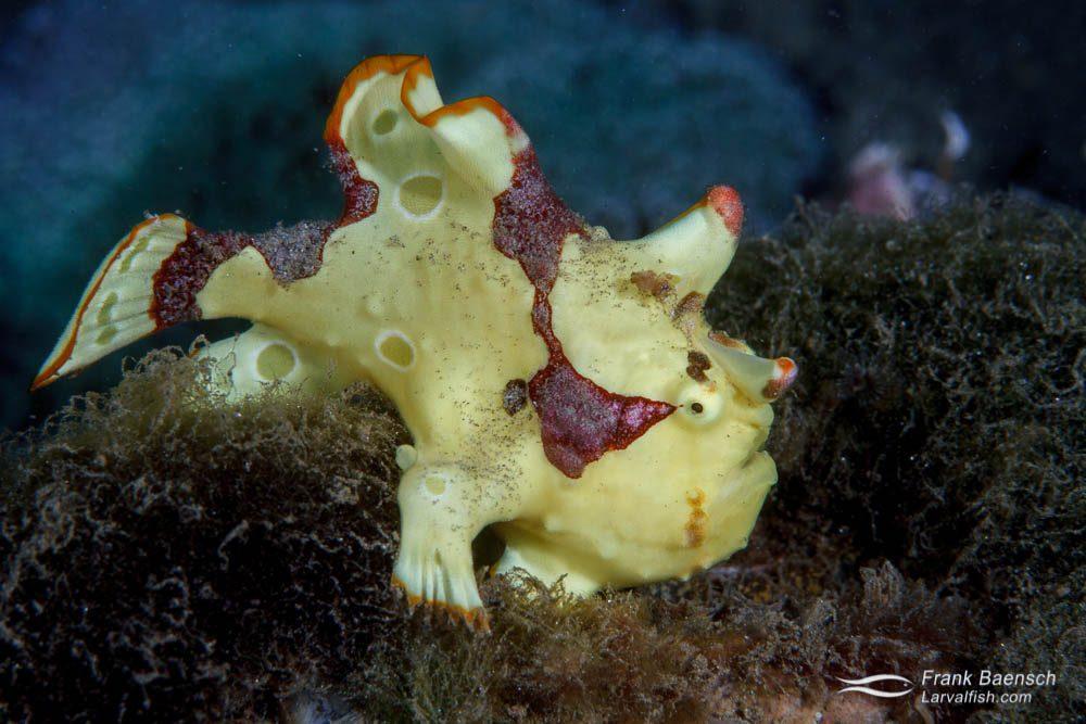 Juvenile painted frogfish (Antennarius pictus). Papua New Guinea.