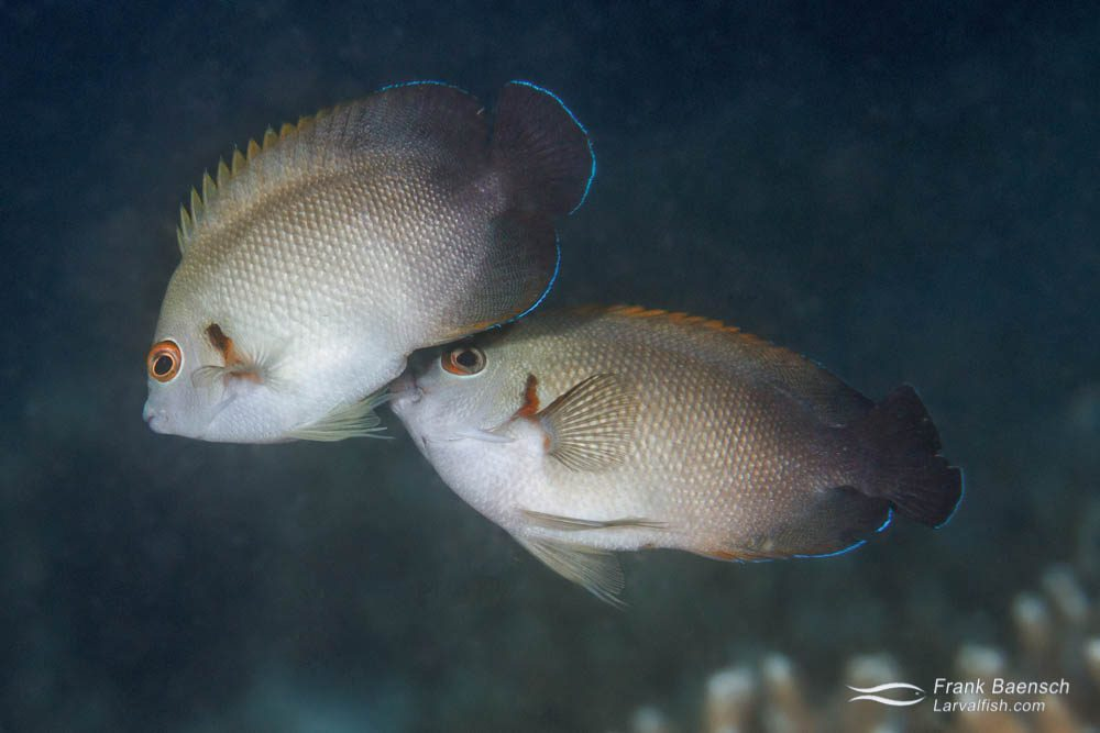 Pearl-scaled angelfish (Centropyge vroliki) spawning. Papua New Guinea.