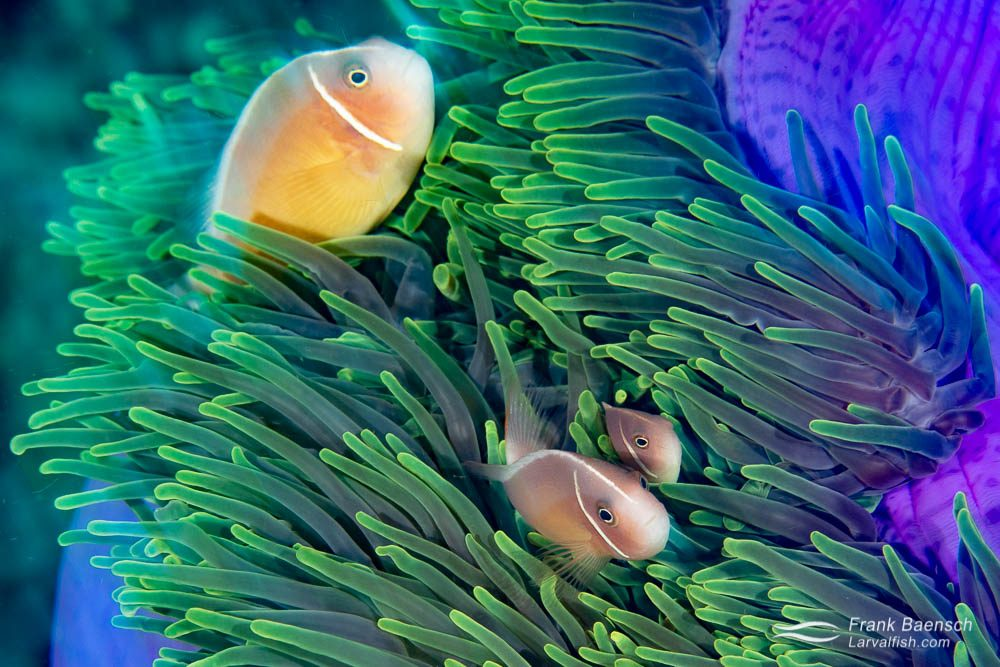 Pink anemonefish (Amphiprion perideraion) in the Solomon Islands.