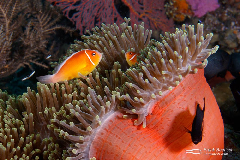 Pink anemonefish (Amphiprion perideraion) in Palau.