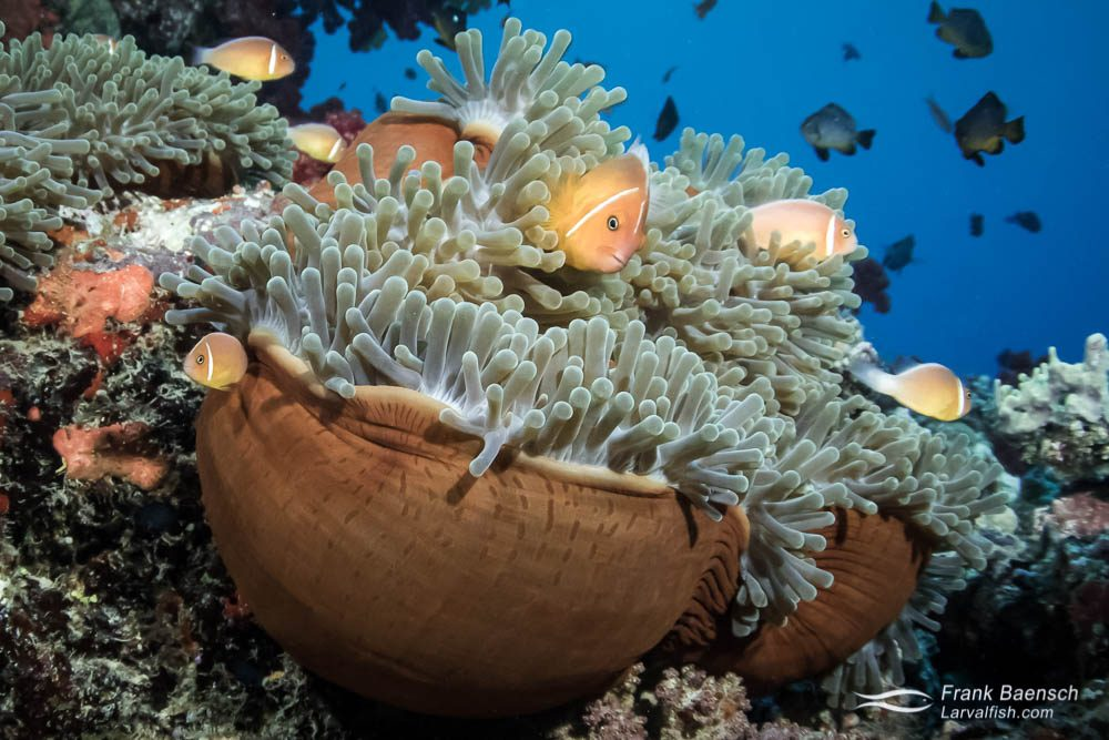 Multiple pink anemonefish (Amphiprion perideraion) in Fiji peek out from balled- up anemone.