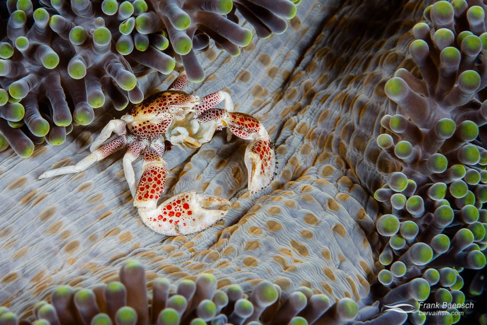 Porcelain anemone crab (Neopetrolisthes maculosus) on a carpet anemone. Indonesia.
