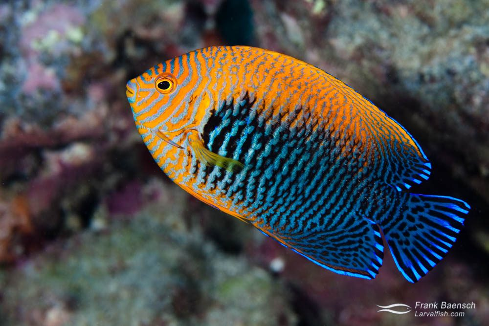 A male, Hawaiian endemic Potter's angelfish (Centropyge potteri). Hawaii.