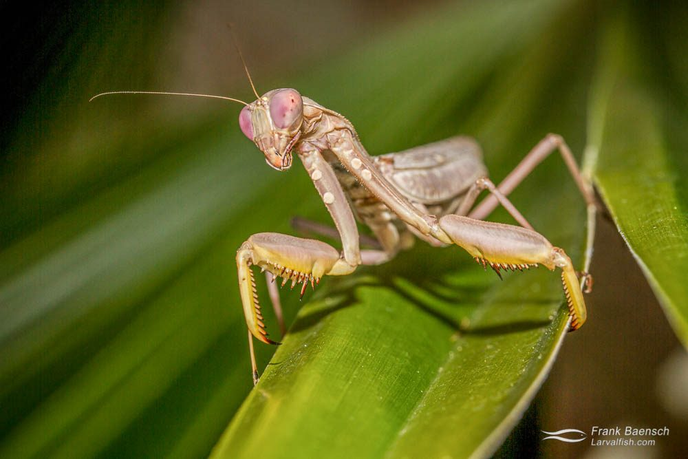 Praying mantis (Manodea sp.) in my garden. Hawaii.
