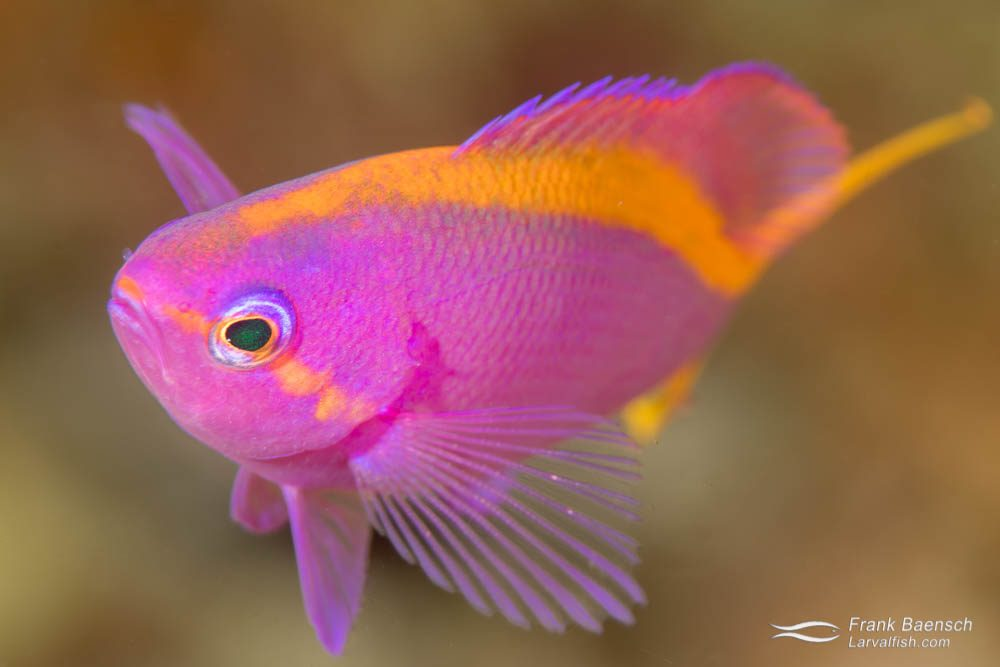 Purple anthias (Pseudanthias tuka). Papua New Guinea.
