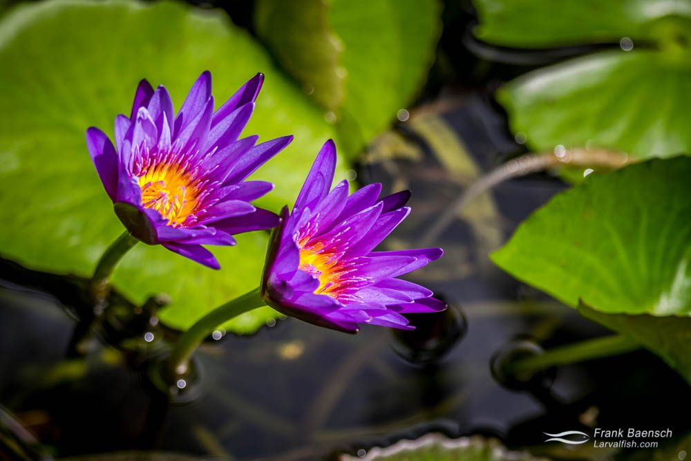 Purple lotus (Nelumbo nucifera) in my garden. Bahamas.
