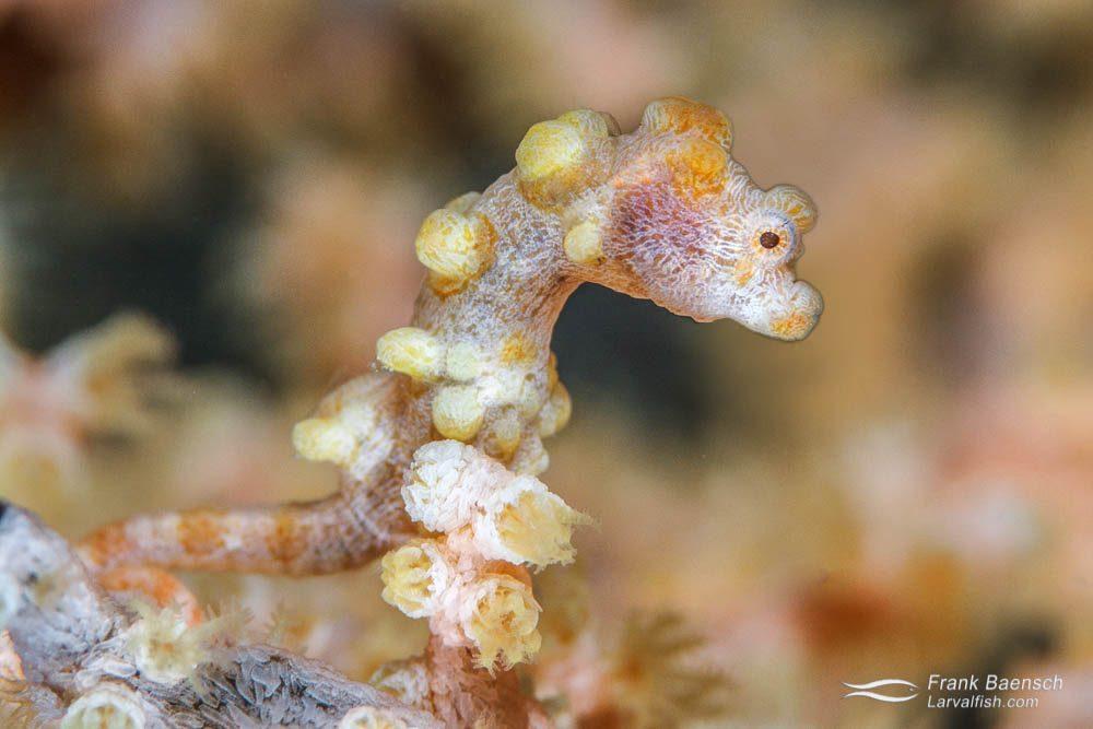 Yellow pygmy seahorse (Hippocampus bargibanti). Philippines.