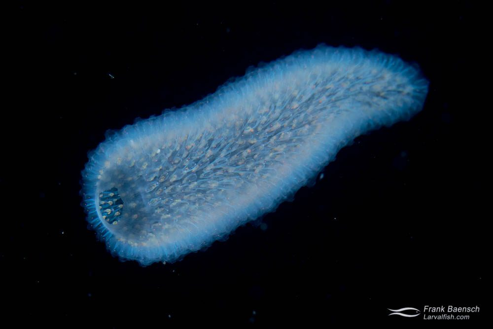 Pyrosome at night. Pyrosomes are actually free-floating colonial tunicates made up of hundreds to thousands of individuals, known as zooids. California.